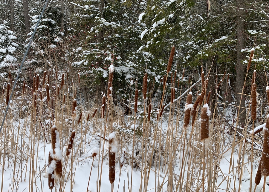 Cat tails covered in snow