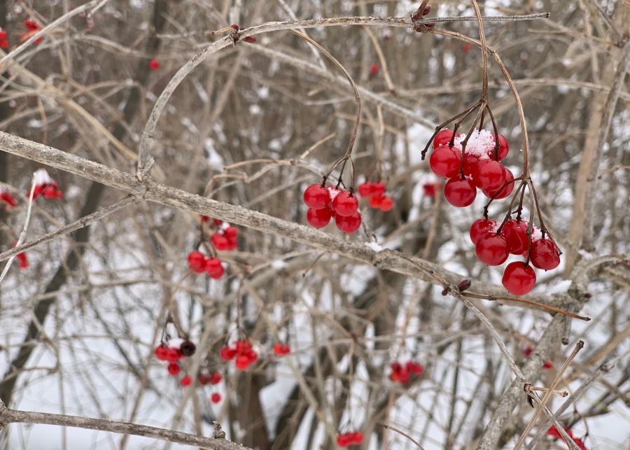 Red berries against branches and snow